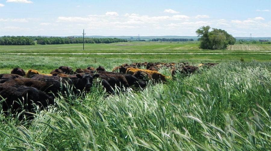 Short interval, higher intensity grazing on taller mixed grass paddocks