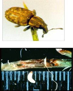 The Argentine stem weevil - a major pasture pest in New Zealand perennial grass pastures