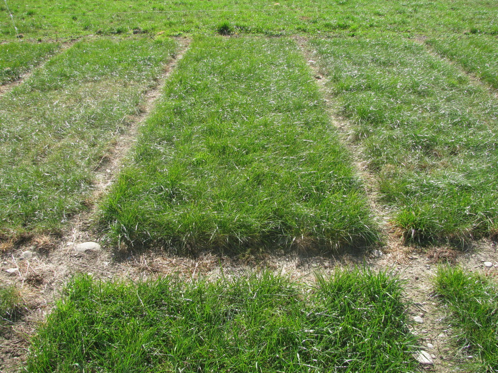 AR37 (middle plot) compared with ryegrasses with other endophytes
