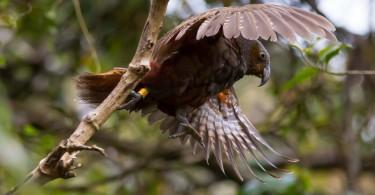 Kākā takes flight. Credit: Chris Helliwell
