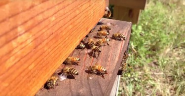 The Sweet Business of the Humble Honey Bee