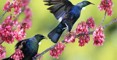 © Peter Drury/Waikato Times. Tui in the trees of the Maungakawa reserve  (Sanatorium Hill) near Cambridge.