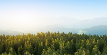 Aerial View On Spacious Pine Forest At Sunrise