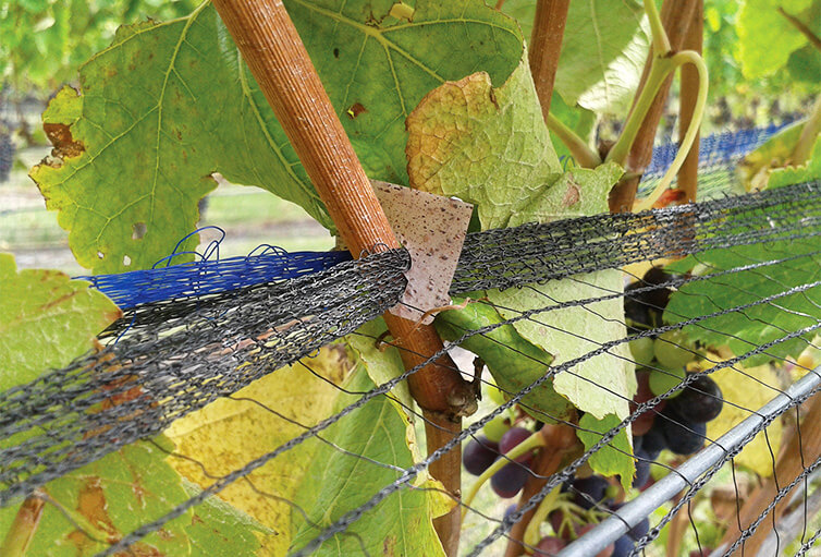 A grape marc biocomposite clip holding netting to protect ripening grapes in place