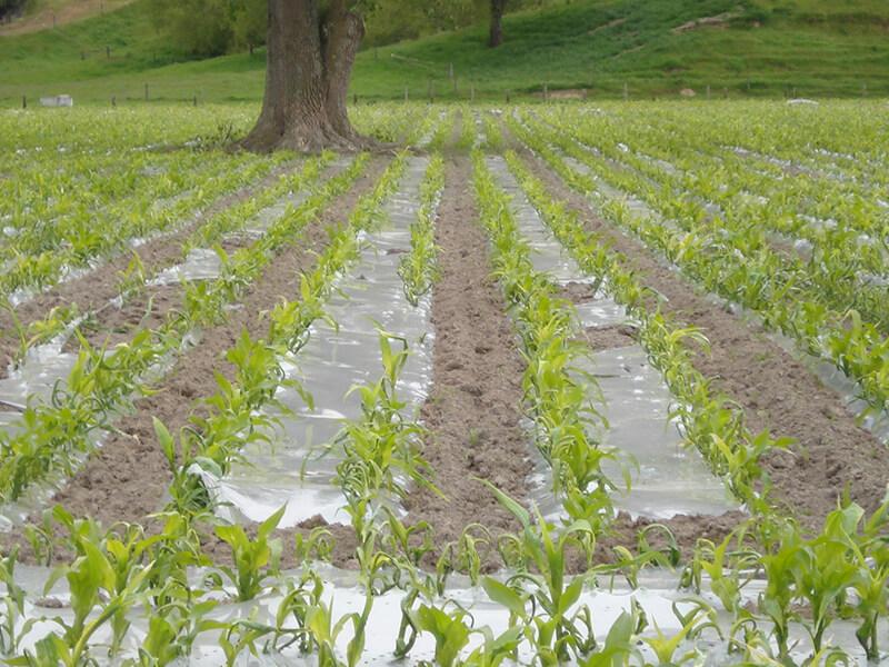 maize_under_plastic