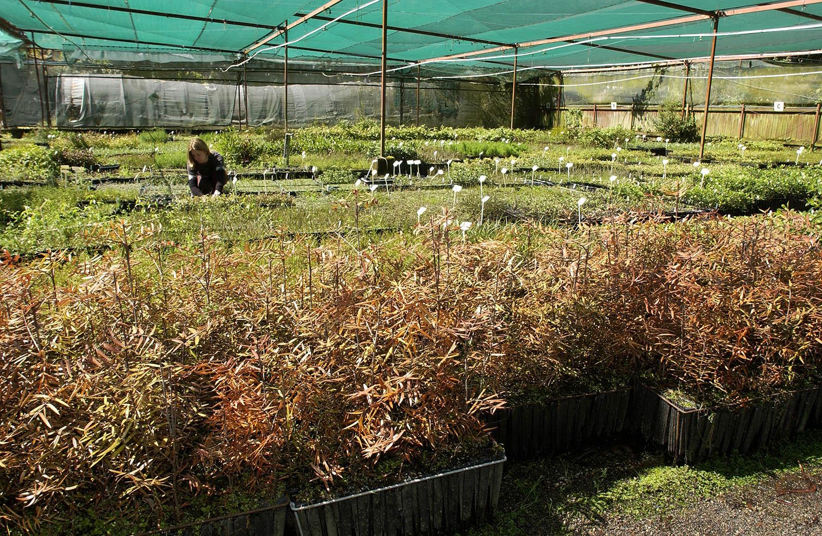 Raising native trees – do cuttings have an edge?
