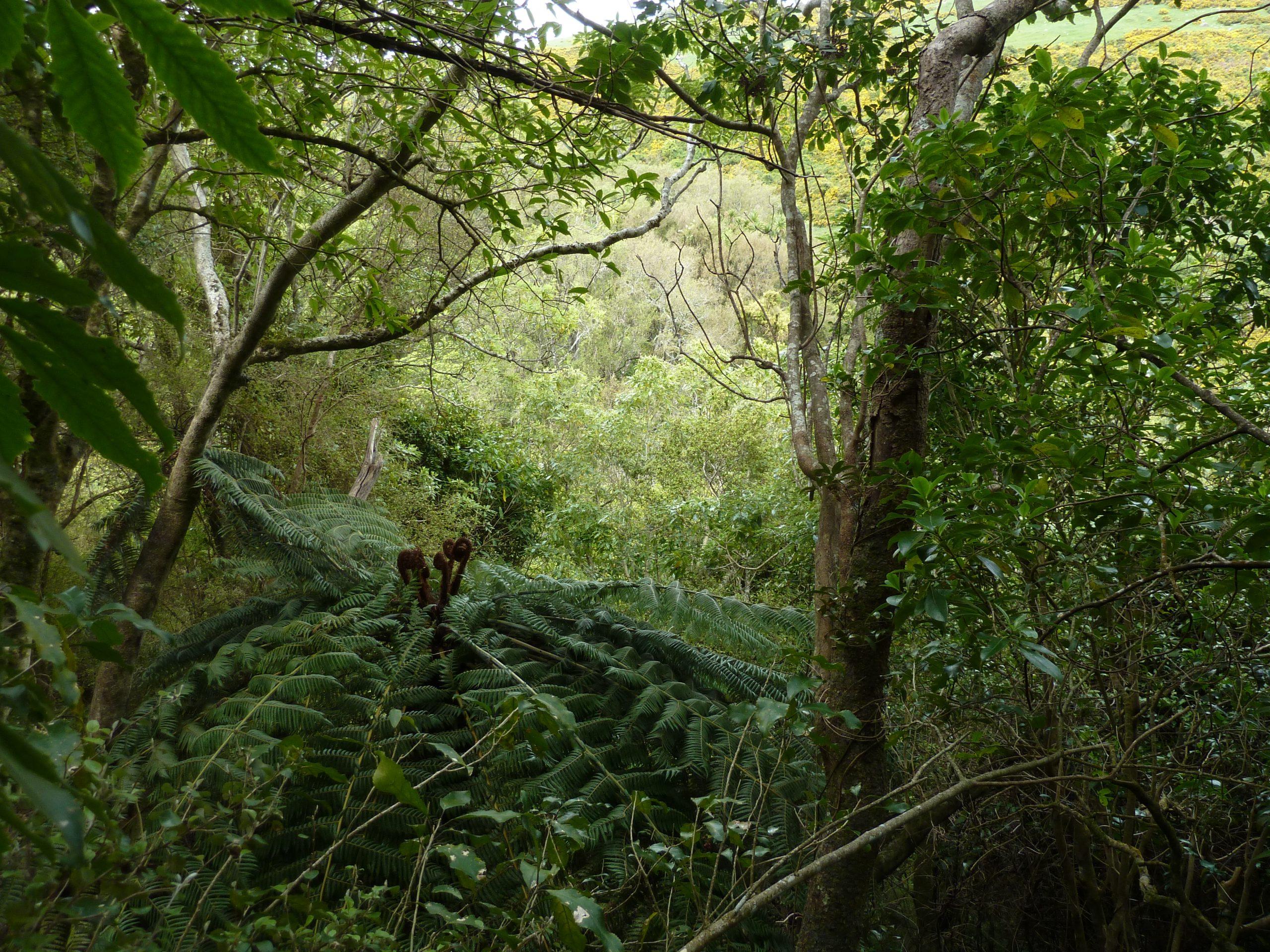 Radiata pine plantations – a band aid to nowhere