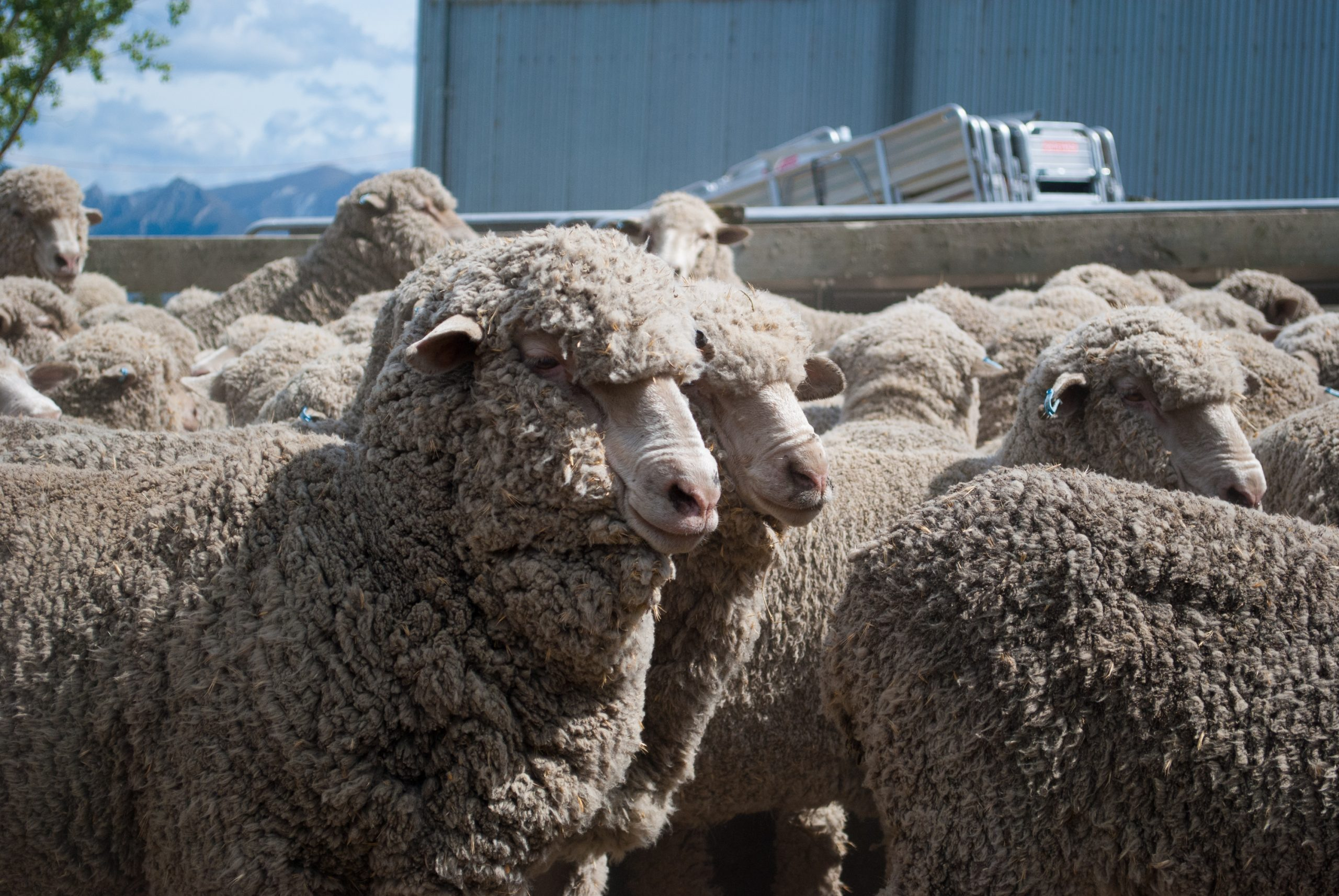 Sheep Included in Regenerative Agriculture