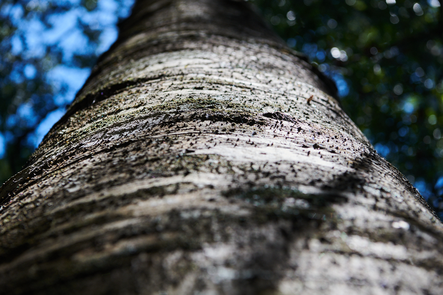 Setting the Record Straight on Carbon Sequestration in Managed Native Forests